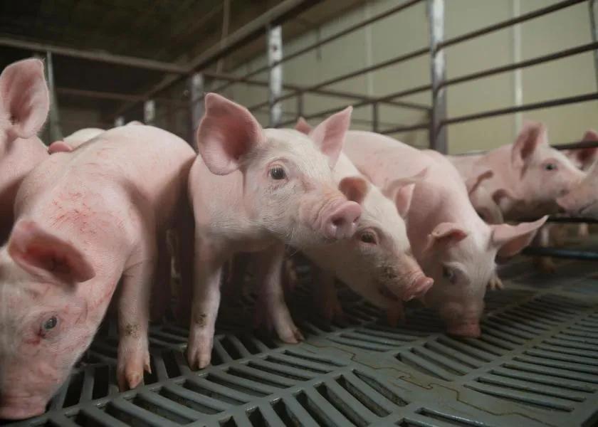 低日龄猪冬季不好养?怎样加温能更好的提高猪的体感温度?
