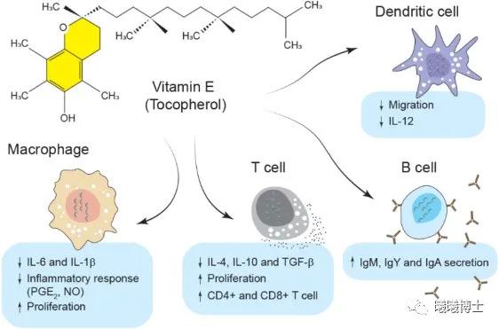 维生素E在免疫系统中的作用(引自 Shojadoost et al., 2021)