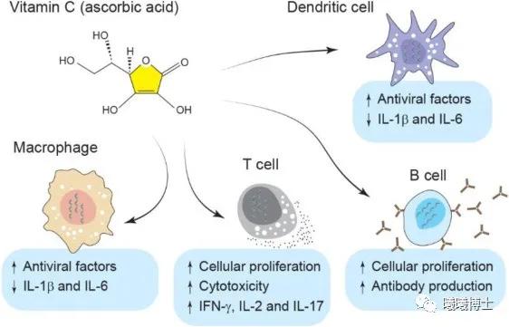 维生素C在免疫系统中的作用(引自 Shojadoost et al., 2021)