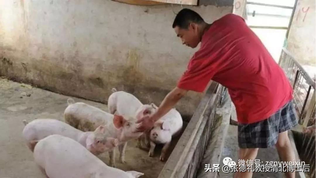 非洲猪瘟主要有这六大传播途径,非洲猪瘟潜伏期有多久?(转载)