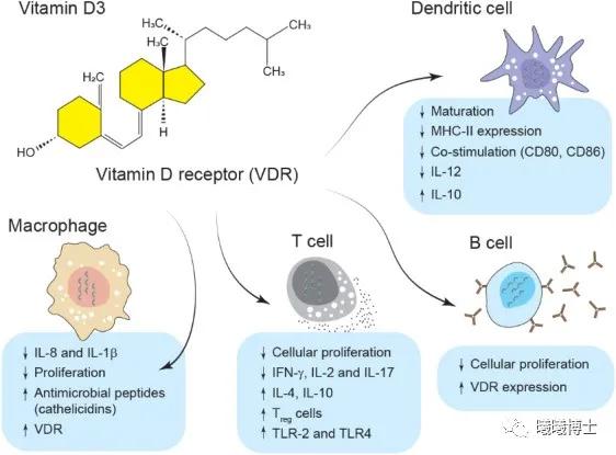 维生素D在免疫系统中的作用(引自 Shojadoost et al., 2021)
