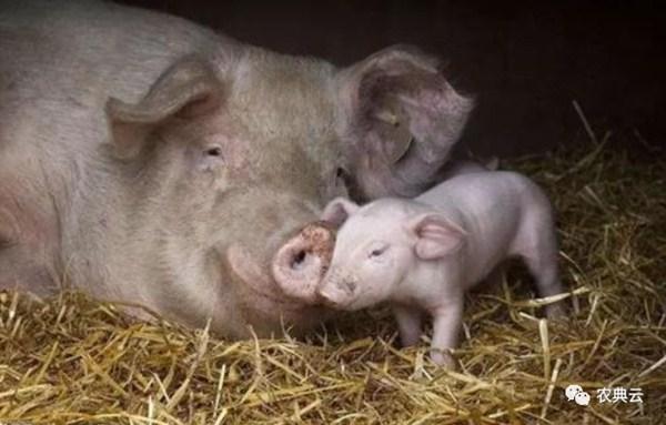 干货:想要二胎母猪多产仔,从头胎就要开始做保健