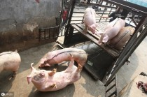 """养猪人的经验之谈,猪场管理一定要做到""""舍、细、控""""!"""