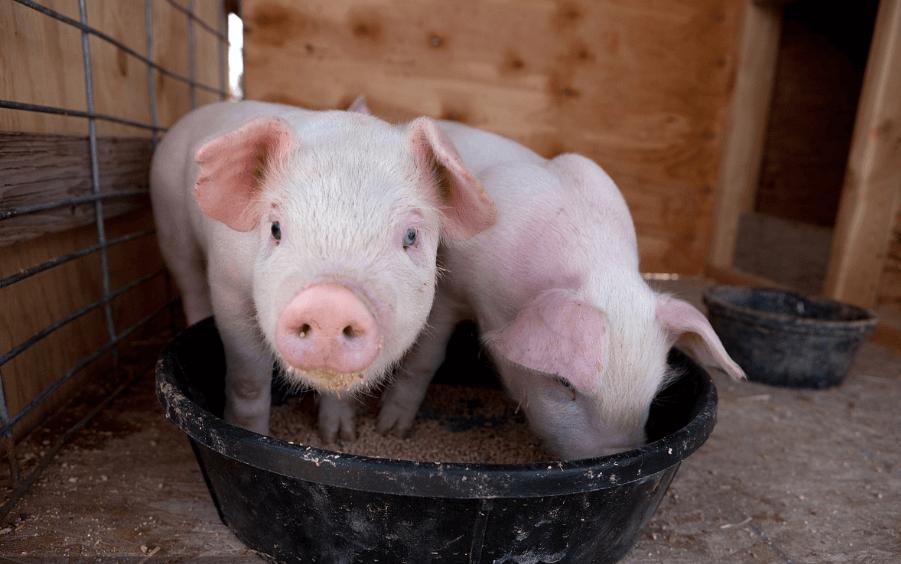 1月22日10公斤仔猪价格:非瘟又来了!年前或迎仔猪抛售潮?