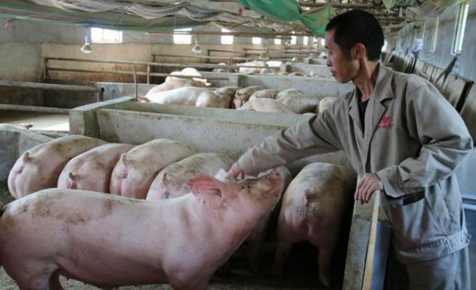资本养猪和小户养猪是对立面?非也,资源不同各有出路