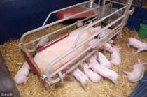 养猪技术:母猪产仔常见问题总结,养母猪一定要懂