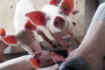 """养猪户变身""""风控家"""" 猪肉市场的春节保卫战"""