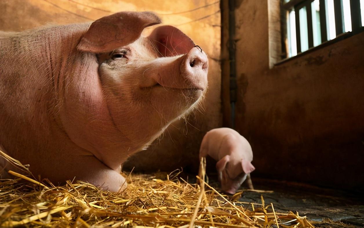 """1月22日生猪价格,华北跌成""""重灾区"""",2个因素,猪价还涨?"""