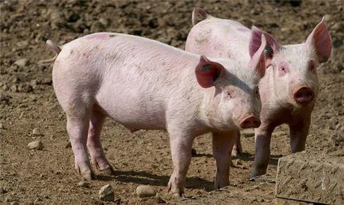 """时隔86天,非洲猪瘟""""卷土重来""""!年前猪价是继续下探还是""""逆流而上""""?"""