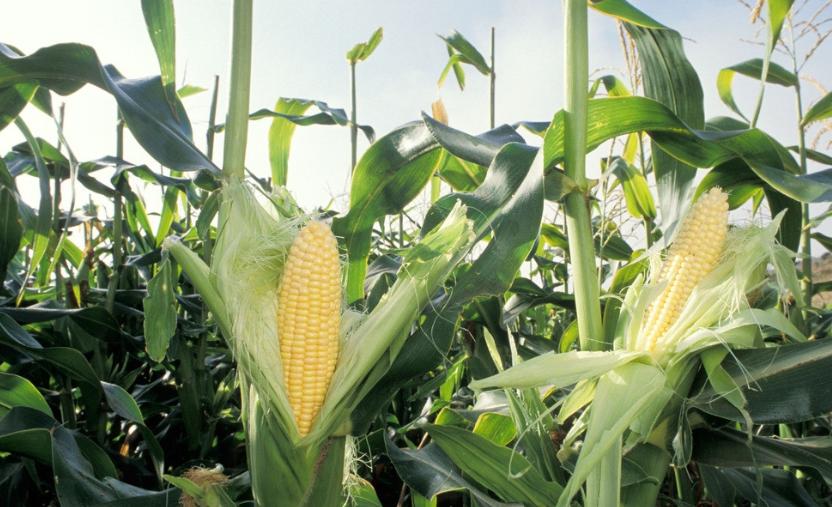 """突破3000元/吨!玉米开年后涨15%,饲料跟涨""""一周一调价"""""""