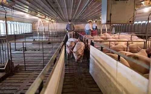 一头猪大概能赚多少钱?由市场行情决定,目前一头猪的利润在1250元左右...