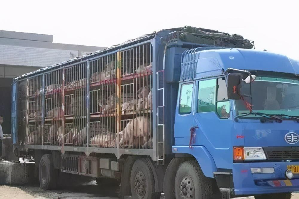 1.24猪价,未来十天养殖户与屠企将展开激烈博弈,春节前猪价能否翻身?