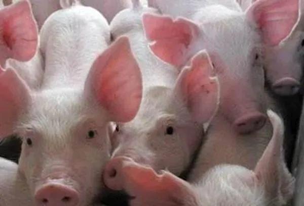 非洲猪瘟发病之后如何做到有效控制?养猪朋友们要明白三点!