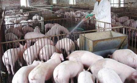 """猪价大跌7.6%,全国猪价一片绿,年前猪价下跌""""不死不休""""?"""