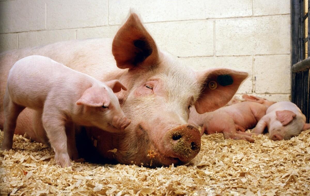 母猪产前有何征兆?老兽医教你判断母猪预产期,下猪也能睡好觉