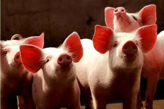 猪价超跌反弹!东北大涨0.8元/公斤,难道是进口肉除了问题?