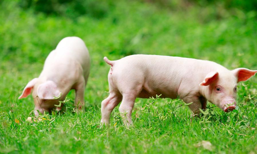 """1月26日20公斤仔猪价格,补栏""""热潮""""将袭,上半年仔猪还得涨?"""