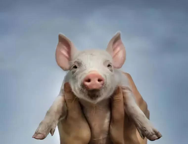 非洲猪瘟可防、可控!注意非洲猪瘟这六个导火索!