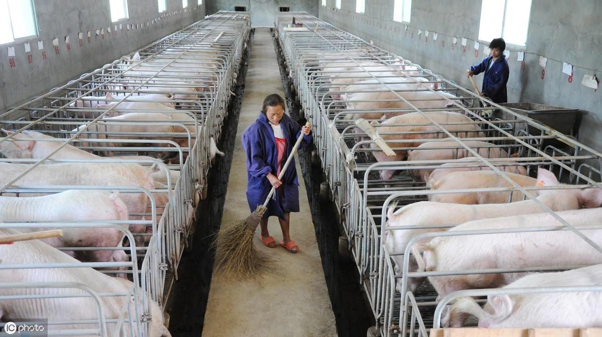 想养猪却又不知道怎么建猪舍?一文读懂怀孕母猪舍的建设要点