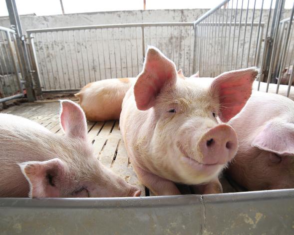 """浙江:在省内形成400万头猪以上养殖规模 我市农企确保市民吃上""""放心肉"""""""