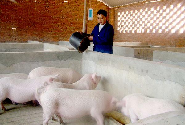 养猪场合理规划设计、及养猪场内部细节问题详解