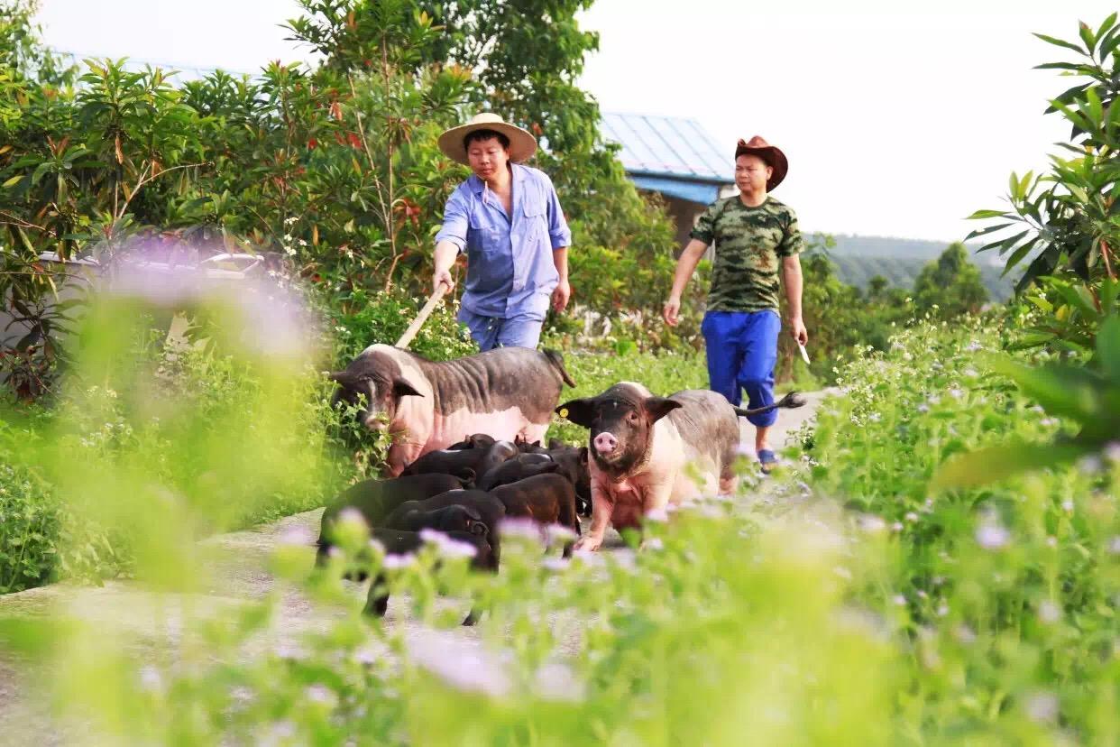 养猪概念股再度爆发,猪价春节前能否止跌反弹?