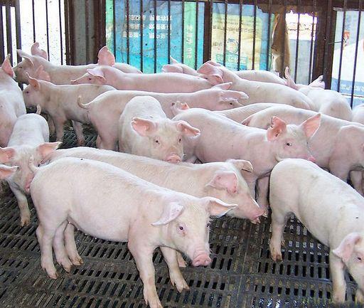 为了控制疾病的传染和扩散,猪场应采用简单易行的生物安全措施……