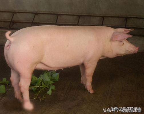 豬場消毒劑怎么選?消毒時需要注意什么?