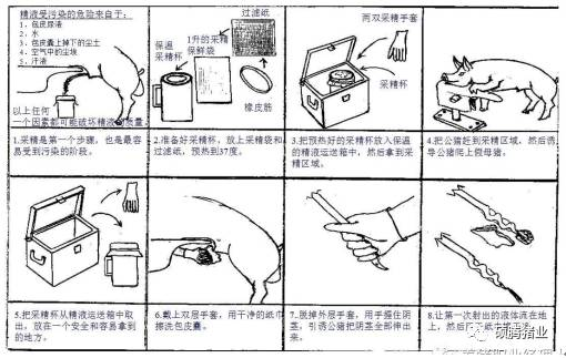 干貨!圖文解說如何訓練新種公豬和影響豬精液保存的關鍵