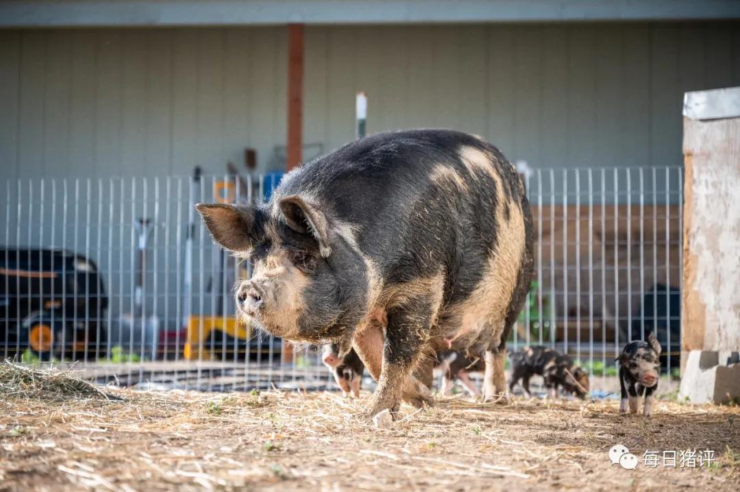 母豬毛孔滲出血絲,豬耳朵有出血點豬背部比較臟怎么回事