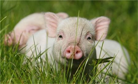 2021年01月28日全国各省市20公斤仔猪价格行情报价,连续上涨8周,仔猪再次回到90元/公斤的高位
