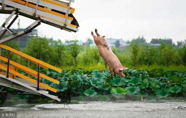 猪价就像过山车!生猪价格再迎大跌!预计明天生猪价格大范围下跌