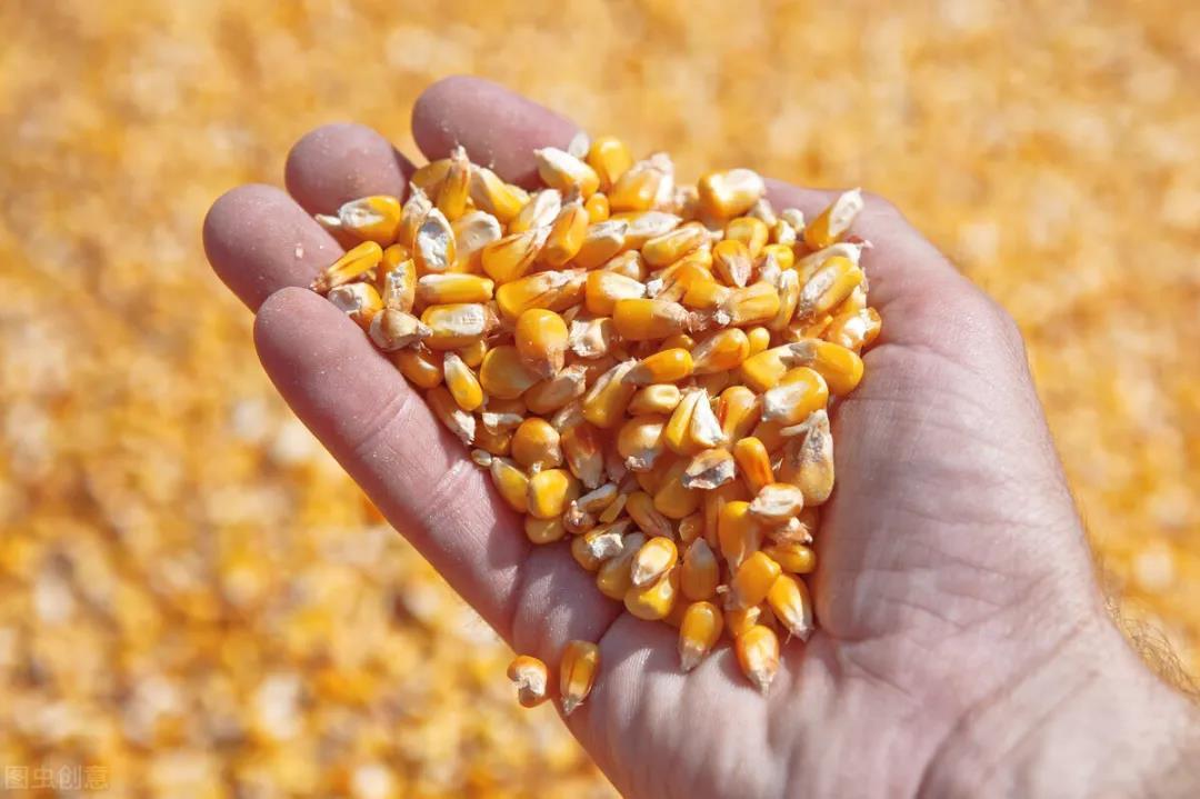 玉米破3000!饲料价格涨了半年,养殖户还能承受成本压力吗?