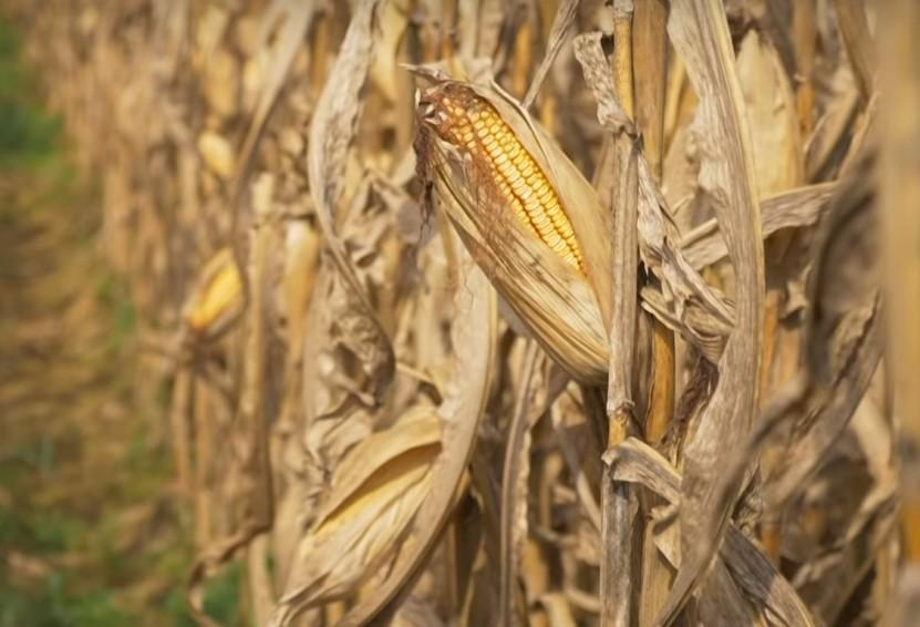 拿下中国136万吨玉米大单,美国却笑不出来?巴西等国或来抢生意