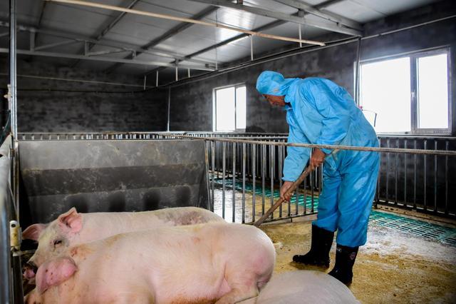 """""""猪粮比""""回归拉响双重警报!折射出生猪养殖产业痛点,养殖企业可用期货工具锁定利润?"""