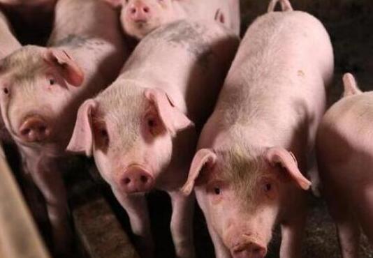 """印江""""企业+家庭农场""""生猪代养模式 叩开群众致富门"""