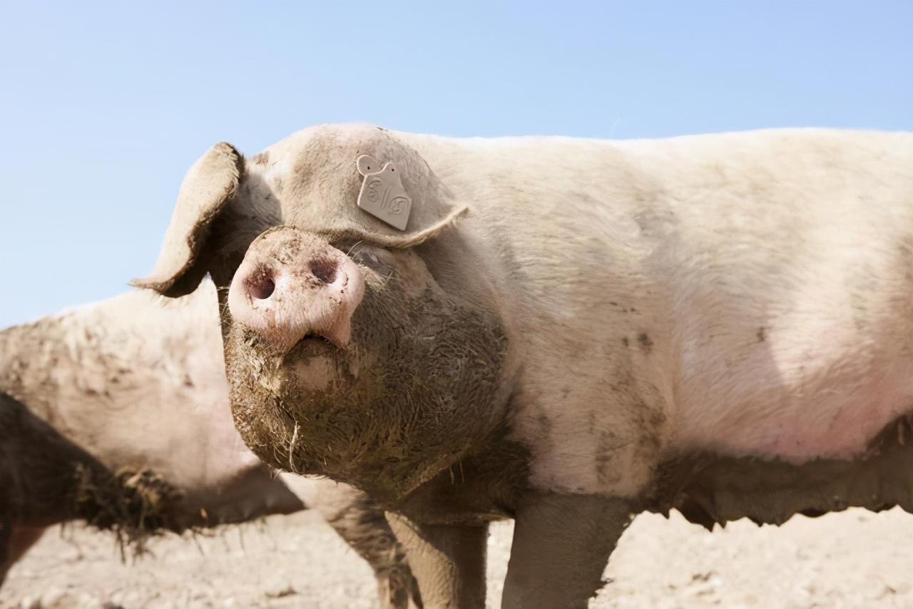 """1.29生猪价格,猪价""""狂跌不止"""",年底16元猪价能保住吗?"""