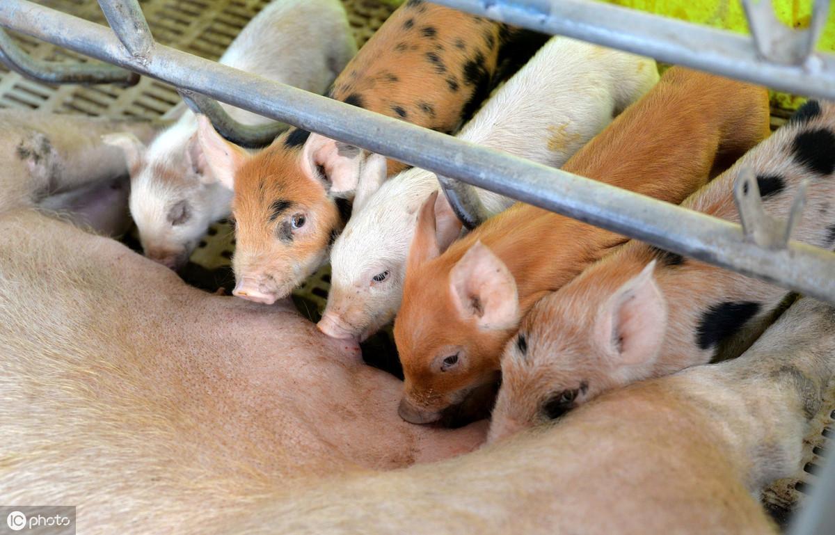 母猪产仔前做好5项准备工作,可提高仔猪成活率,一窝多赚2000元