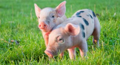 猪场可以采取的生物安全措施!引种工作仍是重中之重
