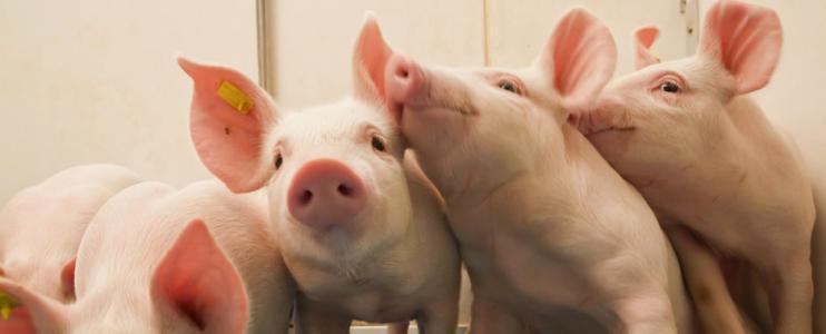 """忐忑不安:猪价""""狂跌""""全线飘绿,养猪人十分关注的猪价节前还能涨吗?"""