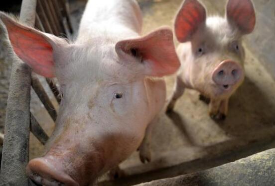 """""""招财猪""""带来好日子:骑岭乡贫困户的养殖梦圆了"""