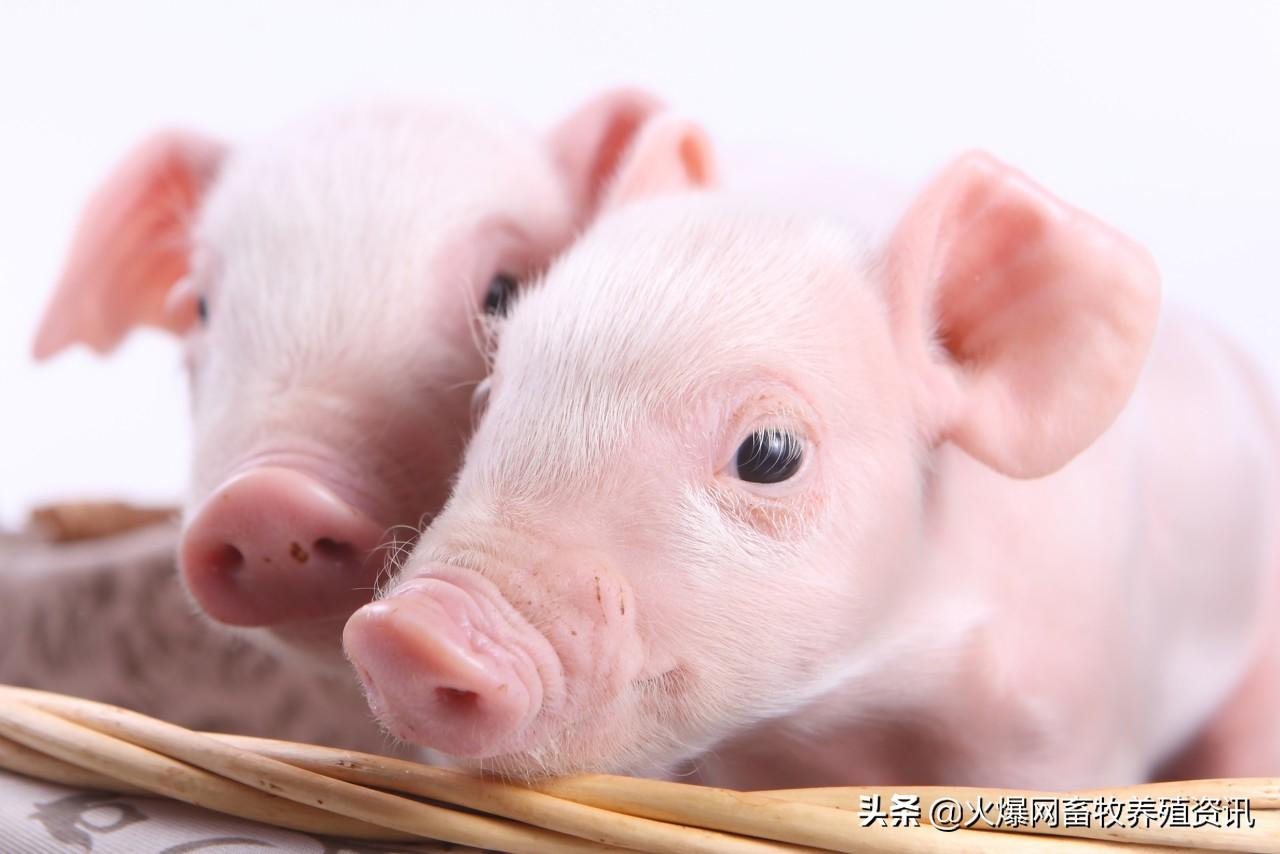 母乳对仔猪健康的影响?是仔猪生长发育的基础!