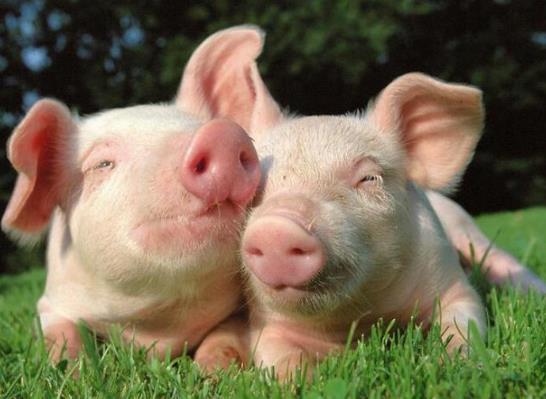 福建:春节期间猪肉供应量将比去年同期明显增加!