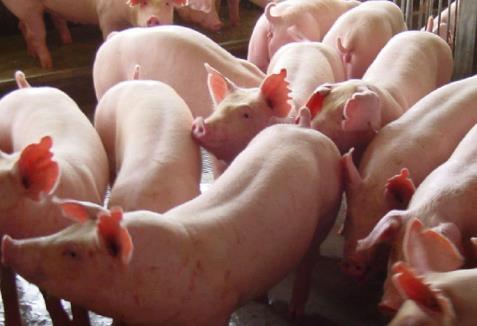 山东出台意见,加快生猪种业高质量发展