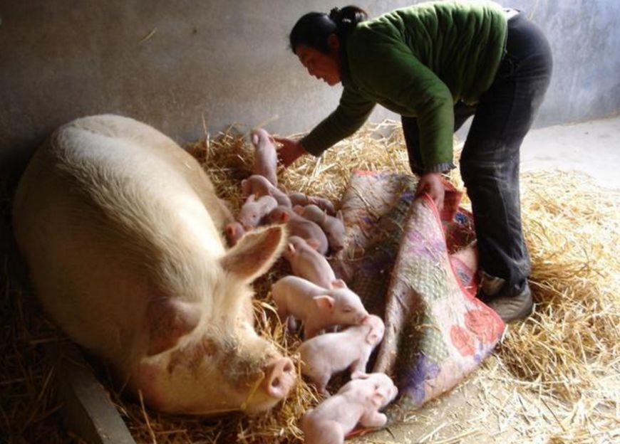 养殖户4步促进母猪配种成功率,母猪断奶后7天发情很轻松!