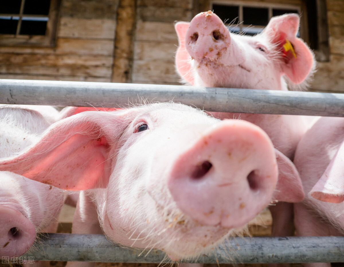 正邦4季度外购仔猪育肥一头亏600元,仔猪赚100,养猪难?