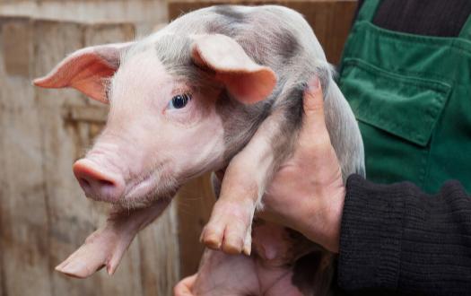 非洲猪瘟给美国带来的意想不到的影响,新生仔猪缺乏维生素!