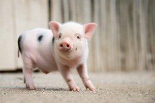2021年02月02日全国各省市15公斤仔猪价格行情报价,近日行情不稳,补栏可观望后再定