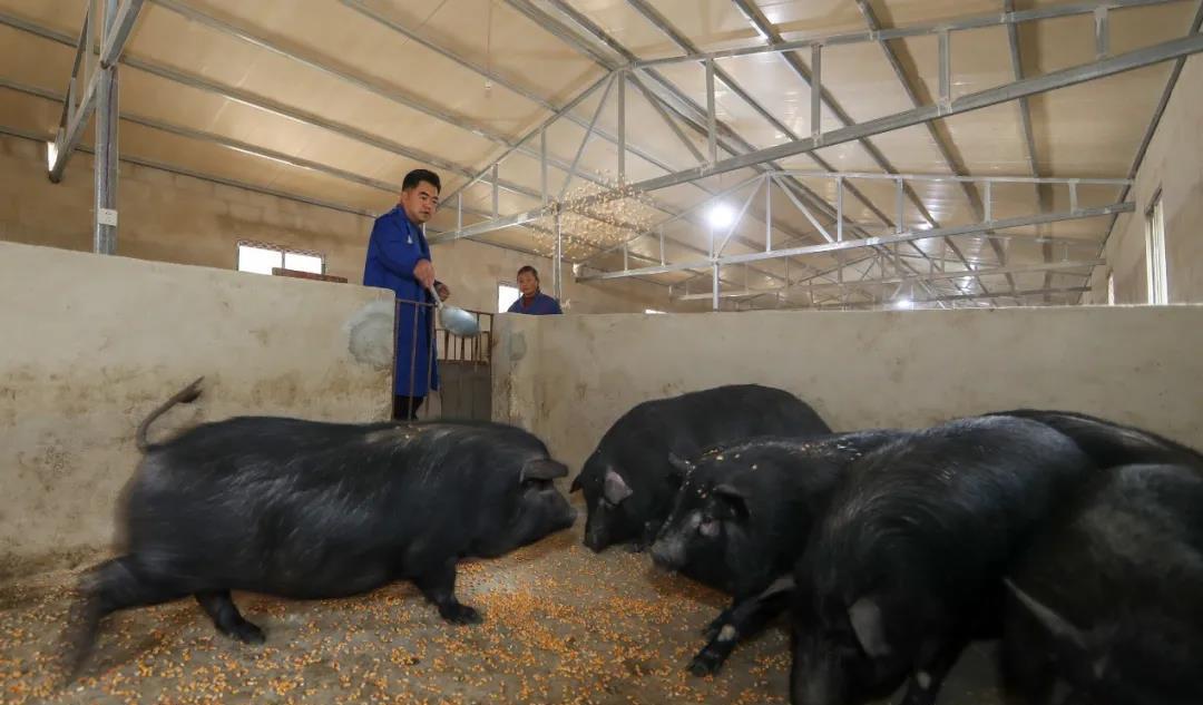 机构推测:能繁母猪存栏环比小幅下降,春节后猪价或趋势性反弹