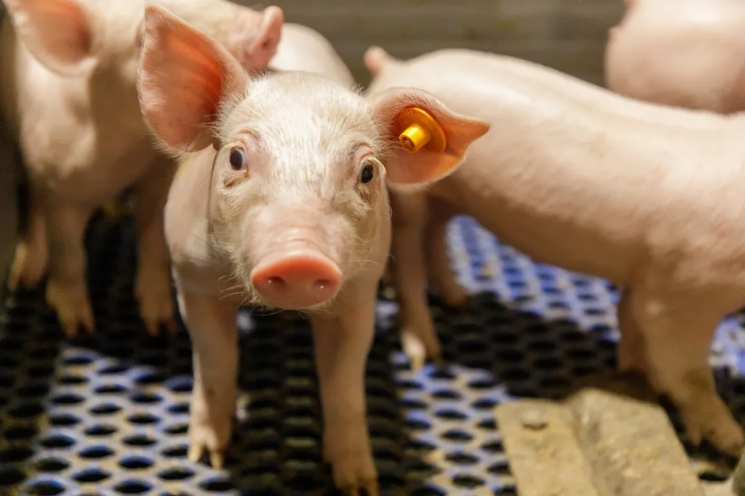 实验证明,非洲猪瘟病毒在喷干血浆中的稳定性!